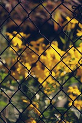 Silence (Bhamgal) Tags: blur yellow daisies fence watercolor dof chainlink silence bringontheweekend fencefriday sohappyitisfriday