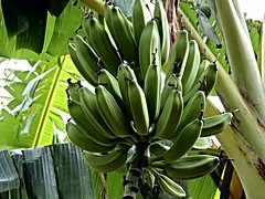 Taormina -  Bananas Sicily (B & B Il giardino di Graziella) (Luigi Strano) Tags: italy fruits europa europe italia bananas sicily banane bb bedbreakfast taormina sicilia messina sicile sizilien италия европа сицилия таормина bbilgiardinodigraziella