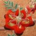 Fabaceae>Swainsona formosa Sturt's Desert Pea DSCF4364