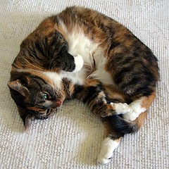 Gracie 12 August 2011 6222b sq (edgarandron - Busy!) Tags: cats cute cat gracie feline tabby kitty kitties tabbies patchedtabby