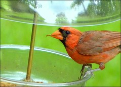 This Cardinal Craves Mealworms (ChicaD58) Tags: summer male bird nature garden outdoors backyard eating feeder perched picnik snacking northerncardinal mealworm natureplus doublyniceshot doubleniceshot