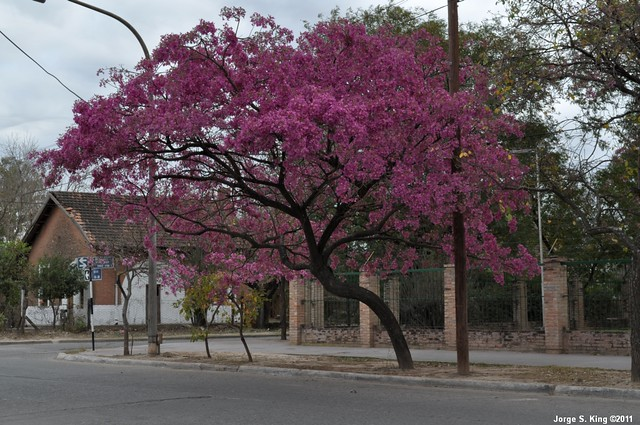 Lapachos 2011 III