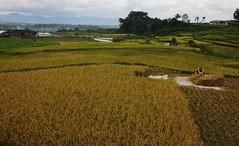 Harvesting time. (Carlos Nizam) Tags: sky food mountain green yellow indonesia asia rice paddy crop farmer bukittinggi paddyfield padang