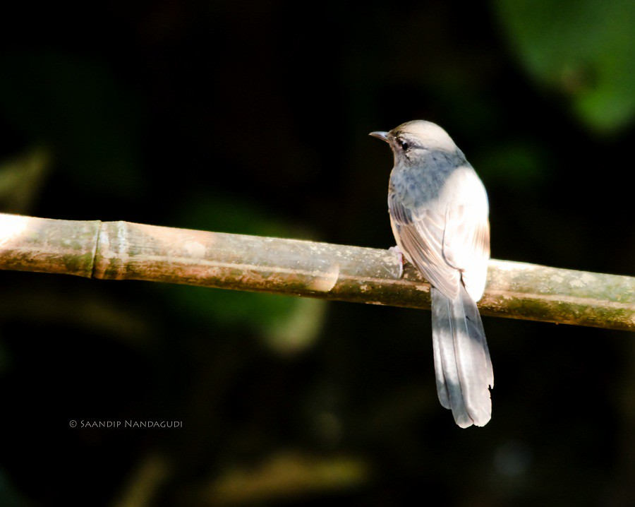 Hill Blue Flycatcher-Male