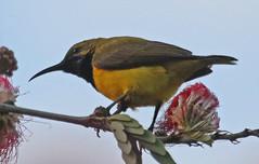 AU11_60d_01334a (jerryoldenettel) Tags: bird au australia sunbird 2011 nectarinia passerine olivebackedsunbird nectariniajugularis yellowbelliedsunbird nectariniidae