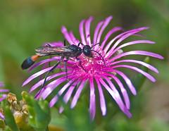 Ammophola sabulosa,  (aeschylus18917) Tags: flowers flower macro nature japan season insect nikon seasons wasp  nikkor  prefecture nagano pxt ueda naganoprefecture 105mm 105mmf28 naganoken  threadwaistedwasp muddauber ammophilasabulosa  besshoonsen  threadwaisted 105mmf28gvrmicro   d700 nikkor105mmf28gvrmicro naganoshi  danielruyle aeschylus18917 danruyle druyle uedashi