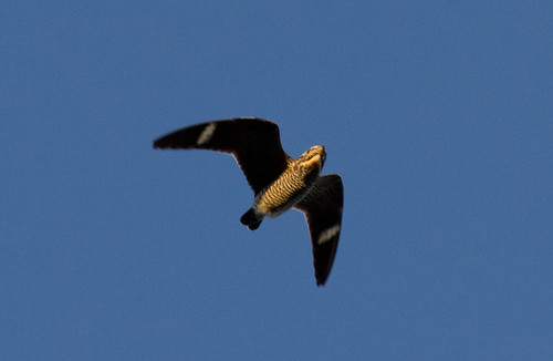 Juvenile Common Nighthawk