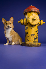 Dog and Hydrant (hhildrethphoto) Tags: dog hydrant studio fire corgi stoli stolichnaya petphotography hollyhildreth