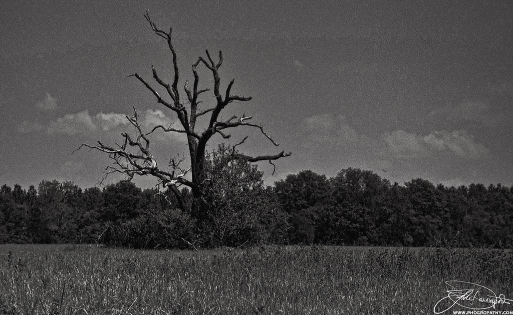 Dead Tree in B&W
