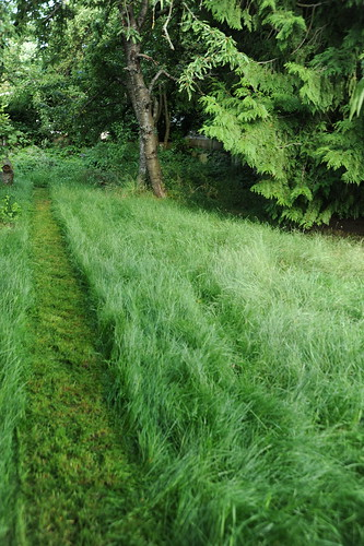 Cutting a path, lawn, trees, cherry and spruce, backyard, Broadview, Seattle, Washington, USA by Wonderlane