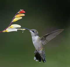 """Loving your flowers!"" (Connie Etter Photography) Tags: bird hummingbird sony indiana 75300 a700"