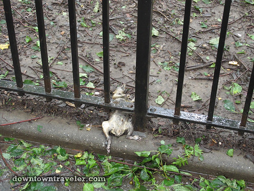 Aftermath of Hurricane Irene in NYC_Tompkins Square Park dead rat