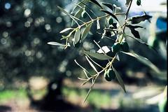 Olives (Bouboudialo2009) Tags: green texture fruit nikon details provence arbre nikonfe argentique velvia50 matière nikkor250mm
