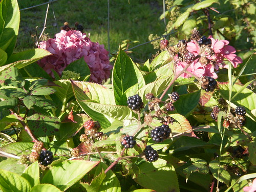 Just a few blackberries amoung the hydrangea