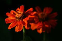 flowers garden zinnias