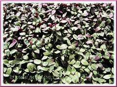 Hemigraphis alternata (Red Flame Ivy, Red Ivy, Cemetary Plant, Metal-leaf, Purple Waffle Plant) as ground cover at Rawang Rest & Recreation area