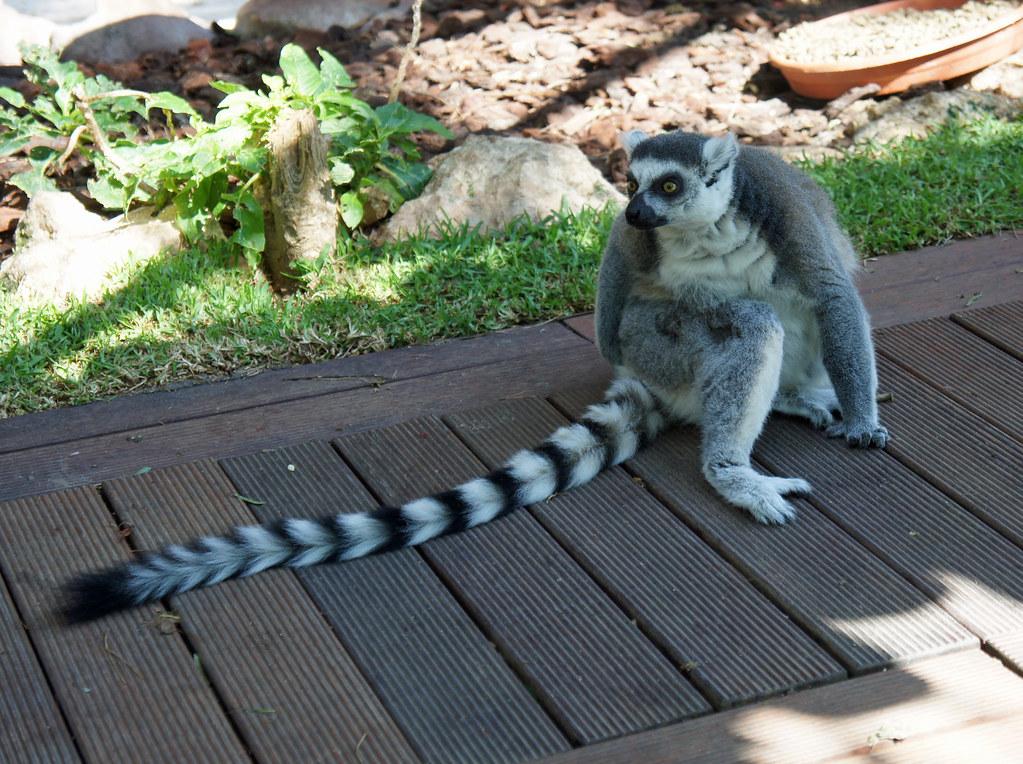 Mundomar lemur
