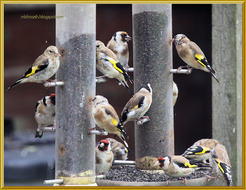 Goldfinches 7