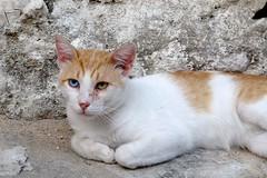 Ziggy Stardust a Parga (Tumbalalaika) Tags: hellas occhi grecia felino gatto davidbowie parga ziggystardust zampe unghie bicolore