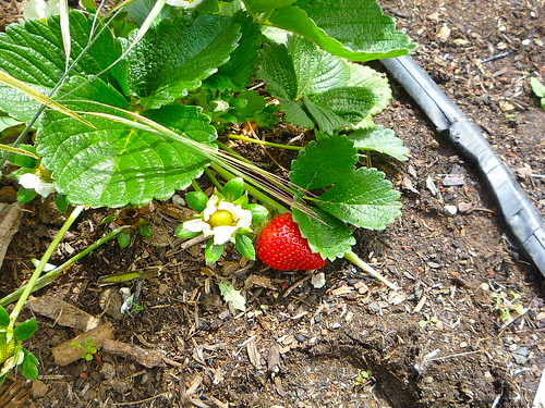 """I'll take that strawberry • <a style=""""font-size:0.8em;"""" href=""""http://www.flickr.com/photos/63818521@N02/6100730620/"""" target=""""_blank"""">View on Flickr</a>"""