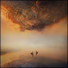 Dawns Tranqility (adrians_art) Tags: sky cloud mist water birds fog reflections bravo swans rivers highqualityanimals