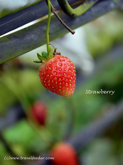 Strawberry farm2