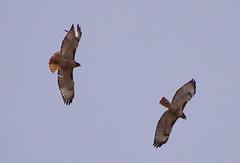 Wing Dings (splinx1) Tags: blue light sky color bird art nature composition colorado pentax scenic handheld bif redtailedhawk buteojamaicensis bouldercolorado pentaxkx smcpda55300mmf458ed pentaxart