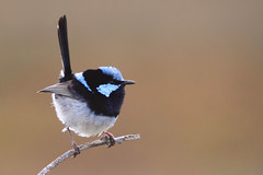 Superb Fairywren (marj k) Tags: bird nsw fairywren warnersbay superbfairywren maluruscyaneus 1271 maluridae