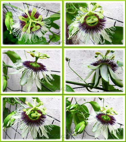 Passiflora edulis (Purple Passionfruit/granadilla): a collage to display its loveliness, shot Aug 19 2011