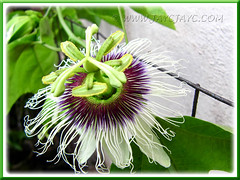 Our flowering Passiflora edulis (Purple Passionfruit/granadilla) - Aug 19 2011