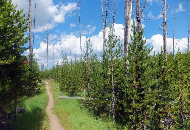 bos van lodge-pole pine