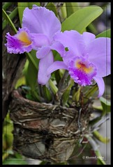 orchid (Rhannel Alaba) Tags: city plants flower lens photography nikon philippines cebu vr d90 minglanilla pido alaba 18105mm rhannel