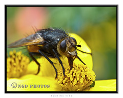Not a Tachina Fera but a Nowickia ferox (Nigel Dell) Tags: ngdphotos