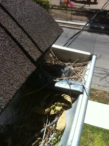 bady doves nest 1