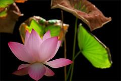 Lotus Flower - IMG_5481-1000 (Bahman Farzad) Tags: pink flower macro yoga peace lotus relaxing peaceful meditation therapy lotusflower lotuspetal lotuspetals lotusflowerpetals lotusflowerpetal