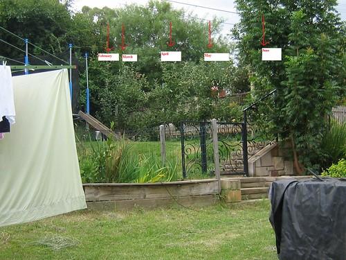 apple trees 2011