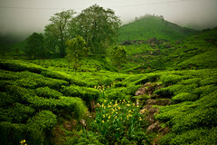 IMG_9623 (JGraphy) Tags: india kerala munnar