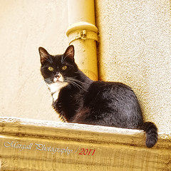 The cat - HDR (Margall photography) Tags: pet black yellow wall cat photography montecarlo monaco marco hdr galletto margall