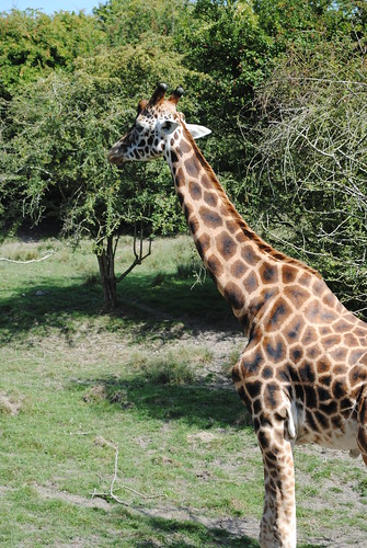 Giraffe on safari at Port Lympne