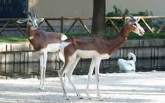 Gazela Dama (raffmou) Tags: madrid animal zoo dama gacela