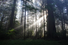 New Day (^-^SHAWN^-^) Tags: california light fog giant redwood rays metasequoia