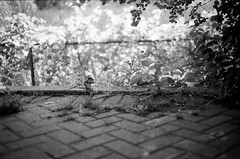 Chipmunk (Julie Lavelle) Tags: trees summer blackandwhite toronto film animal zoo bokeh eating path grain july chipmunk scanned 100 torontozoo kodaktmax 2011 canoneoselan