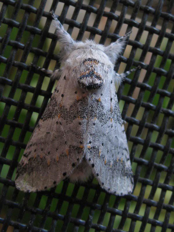 Gray Furcula moth