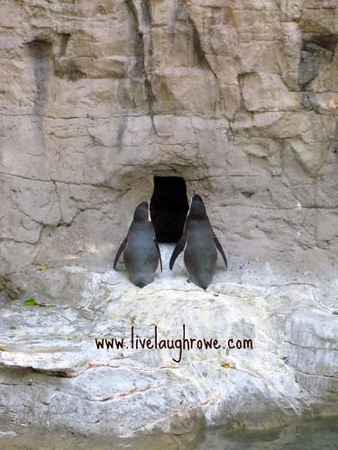 Saint Louis Zoo_penguins