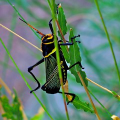 Now That's A Grasshopper!  ~~ Or Is It A Locust? ~~ No, It's a Horse Lubber Grasshopper... (chicbee04) Tags: life family horse orange plant black macro green yellow by insect mexico found gold shiny desert adult unique stage united large western species grasshopper states locust identification lower their northern sonoran shrubs arid zone upon southwestern roost coloration reticulated gaura allows lubber blackandyellow unpalatable chemically thermoregulate defended relatively eques identifiable romaleidae populations aposematic horselubbergrasshopper taeniopoda forewings blackbodies conspicuously warnsvertebratepredators grasshopperto