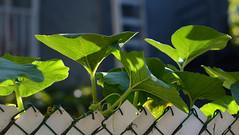 (Fransois) Tags: morning light green leaves fence spring montral haiku bokeh lumire joy vert zen meditation ruelle mileend printemps miksang joie feuilles matin sidestreet clture
