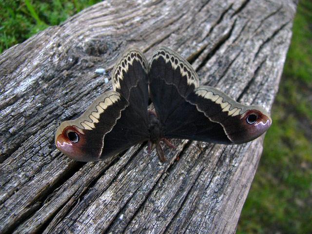 070419_promethia_moth_1