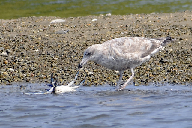Juv gull with blue crab 2