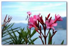 Laurier rose - Stresa (afer92) Tags: blue lake rose italia lac bleu oleander italie aout lagomaggiore stresa 2011 lacmajeur neriumoleander laurierrose 7407 laghiitaliani lacsitaliens olandre lacitaliens
