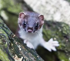 [フリー画像] 動物, 哺乳類, イタチ, 201109210700